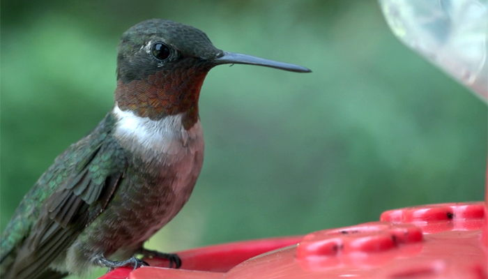 Thumbnail for The Ruby-throated Hummingbird